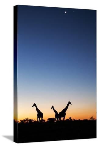 Giraffe, Makgadikgadi Pans National Park, Botswana-Paul Souders-Stretched Canvas Print