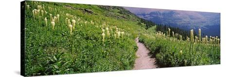 Hiking Trail with Beargrass (Xerophyllum Tenax) at Us Glacier National Park, Montana, USA--Stretched Canvas Print