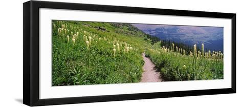 Hiking Trail with Beargrass (Xerophyllum Tenax) at Us Glacier National Park, Montana, USA--Framed Art Print