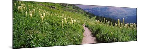 Hiking Trail with Beargrass (Xerophyllum Tenax) at Us Glacier National Park, Montana, USA--Mounted Photographic Print