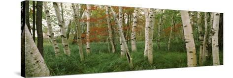 Downy Birch (Betula Pubescens) Trees in a Forest, Wild Gardens of Acadia, Acadia National Park--Stretched Canvas Print