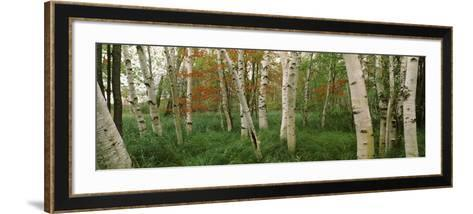 Downy Birch (Betula Pubescens) Trees in a Forest, Wild Gardens of Acadia, Acadia National Park--Framed Art Print