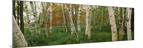 Downy Birch (Betula Pubescens) Trees in a Forest, Wild Gardens of Acadia, Acadia National Park--Mounted Photographic Print