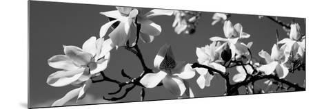 Asian Magnolia Blossoms Ca--Mounted Photographic Print