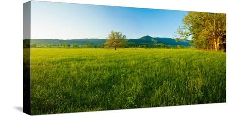 Lone Oak Tree in a Field, Cades Cove, Great Smoky Mountains National Park, Tennessee, USA--Stretched Canvas Print