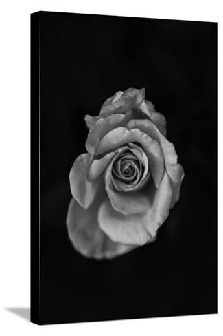 Close-Up of a Rose--Stretched Canvas Print
