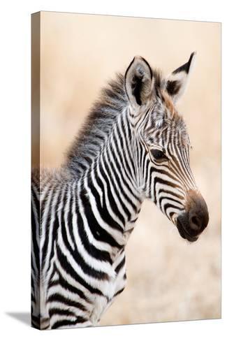 Close-Up of a Burchell's Zebra (Equus Burchelli), Ngorongoro Crater, Ngorongoro, Tanzania--Stretched Canvas Print