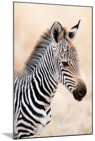 Close-Up of a Burchell's Zebra (Equus Burchelli), Ngorongoro Crater, Ngorongoro, Tanzania--Mounted Photographic Print