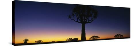 Africa, Namibia, Kokerboom Preserve, Quiver Tree--Stretched Canvas Print