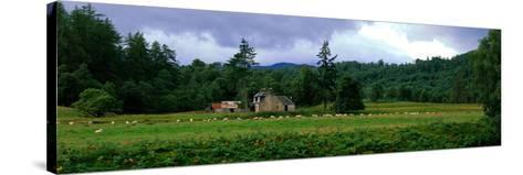 Abandoned Farmhouse with Sheep Glen Strathfarrar Highlands Scotland--Stretched Canvas Print