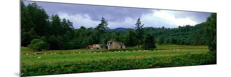 Abandoned Farmhouse with Sheep Glen Strathfarrar Highlands Scotland--Mounted Photographic Print