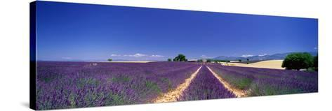 Lavender Field Provence France--Stretched Canvas Print
