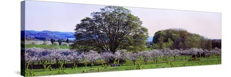 Cherry Trees in an Orchard, Michigan, USA--Stretched Canvas Print