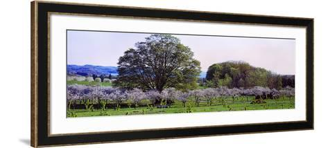 Cherry Trees in an Orchard, Michigan, USA--Framed Art Print