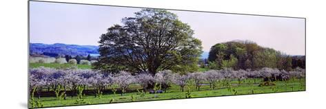 Cherry Trees in an Orchard, Michigan, USA--Mounted Photographic Print