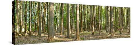 Forest, Washington Crossing State Park, Pennsylvania, USA--Stretched Canvas Print