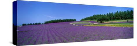 Lavender Field (Nakafurano) Hokkaido Japan--Stretched Canvas Print