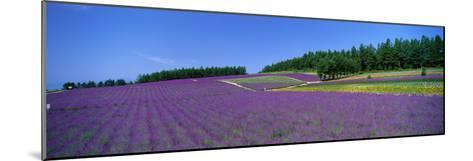 Lavender Field (Nakafurano) Hokkaido Japan--Mounted Photographic Print