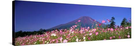 Cosmea Mount. Fuji Oshino Yamanashi Japan--Stretched Canvas Print