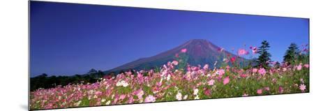 Cosmea Mount. Fuji Oshino Yamanashi Japan--Mounted Photographic Print
