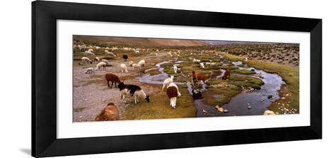 Llamas (Lama Glama) Grazing in the Field, Sacred Valley, Cusco Region, Peru, South America--Framed Art Print