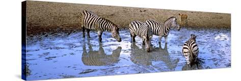 Burchell's Zebras and a Nyala at a Waterhole, Mkuze Game Reserve, Kwazulu-Natal, South Africa--Stretched Canvas Print