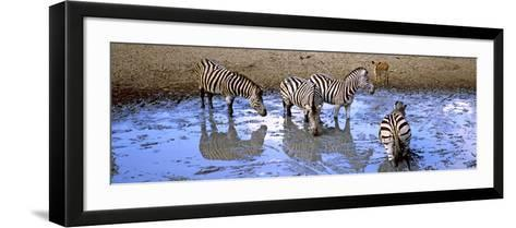 Burchell's Zebras and a Nyala at a Waterhole, Mkuze Game Reserve, Kwazulu-Natal, South Africa--Framed Art Print