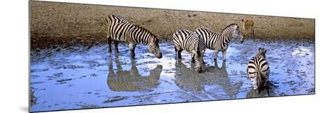 Burchell's Zebras and a Nyala at a Waterhole, Mkuze Game Reserve, Kwazulu-Natal, South Africa--Mounted Photographic Print