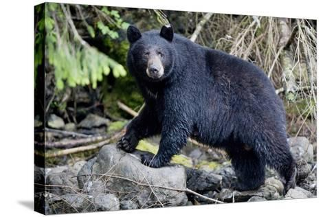 Black Bear in Rainforest in Alaska--Stretched Canvas Print