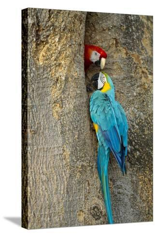 Blue and Gold Macaw with Scarlet Macaw, Costa Rica--Stretched Canvas Print