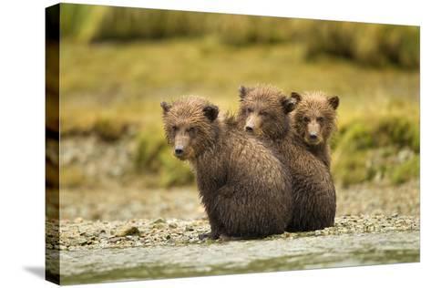 Brown Bear Cubs, Katmai National Park, Alaska--Stretched Canvas Print
