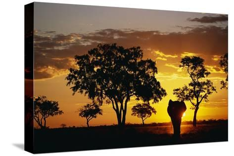 African Elephant Walking at Sunset--Stretched Canvas Print