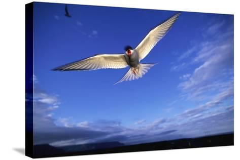 Arctic Tern in Iceland--Stretched Canvas Print