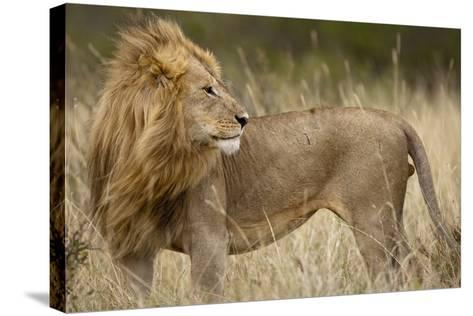 Adult Male Lion in Tall Grass in Masai Mara National Reserve--Stretched Canvas Print