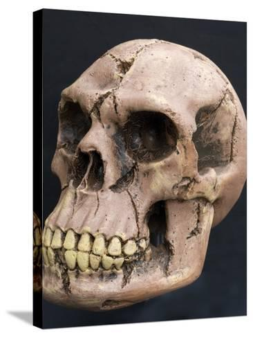 Neanderthal or Neandertal Man - Reconstructed Skull--Stretched Canvas Print