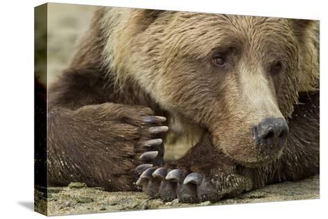 Resting Brown Bear, Katmai National Park, Alaska--Stretched Canvas Print