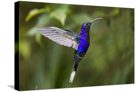 Hummingbird, Costa Rica--Stretched Canvas Print