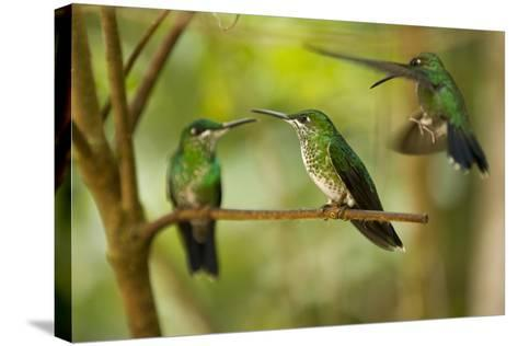 Hummingbirds, Costa Rica--Stretched Canvas Print