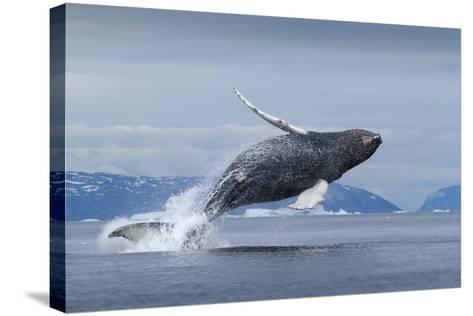 Humpback Whale Calf Breaching in Disko Bay in Greenland--Stretched Canvas Print