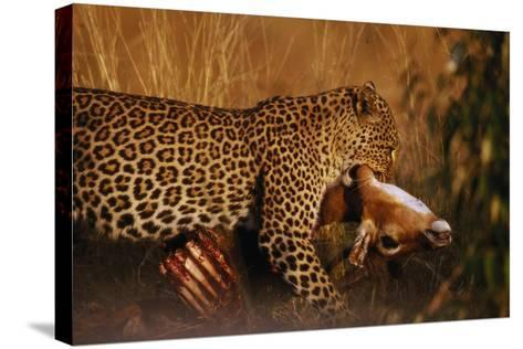 Leopard with Impala Kill--Stretched Canvas Print