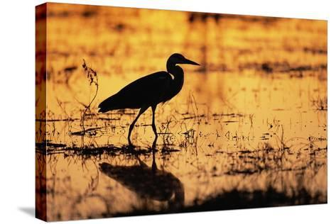 Egret Wading Through the Khwai River--Stretched Canvas Print