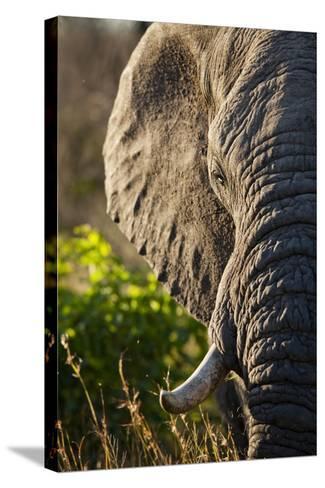 Elephant, Sabi Sabi Reserve, South Africa--Stretched Canvas Print