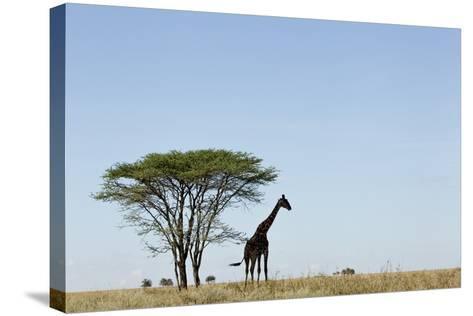 Giraffe Herd--Stretched Canvas Print