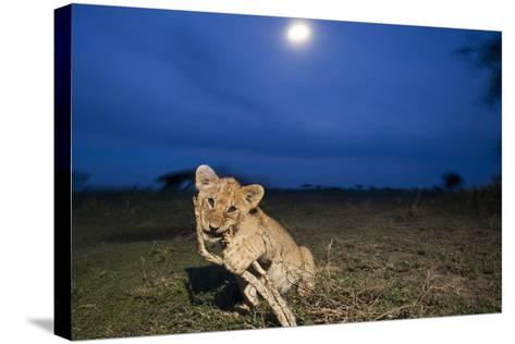Lion Cub at Night--Stretched Canvas Print