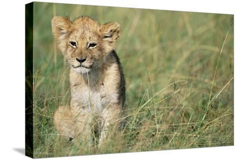 Lion Cub Sitting in Grass--Stretched Canvas Print