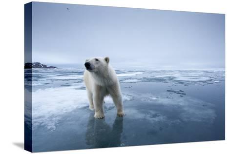 Polar Bear on Melting Ice--Stretched Canvas Print