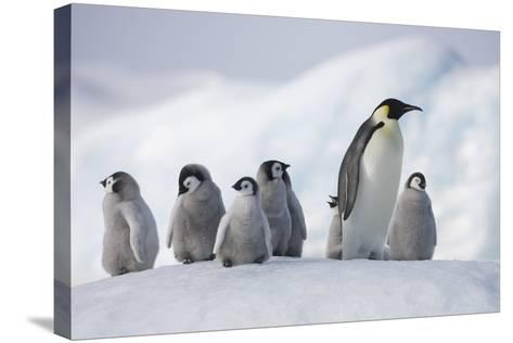 Emperor Penguins in Antarctica--Stretched Canvas Print