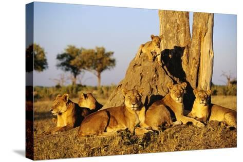 Lion Pride Resting at Acacia Tree--Stretched Canvas Print