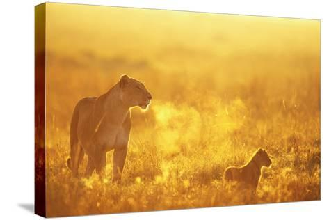 Lioness and Cub--Stretched Canvas Print