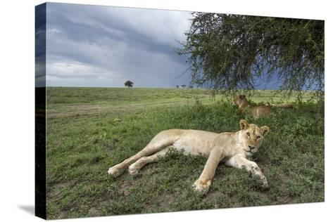 Lioness Resting on Savanna--Stretched Canvas Print